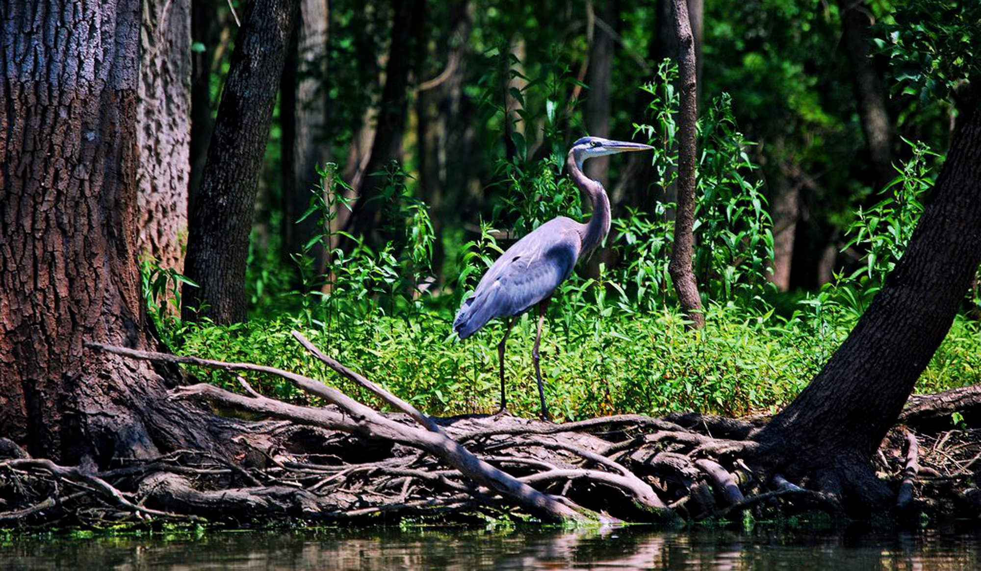 Skokie_Lagoon_Blue_Heron_2000_x_1165